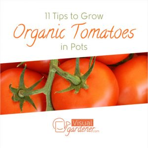 growing-organic-tomatoes-fimg