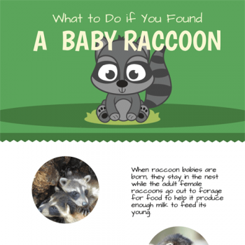 what-to-do-if-you-found-a-baby-raccoon-fimg