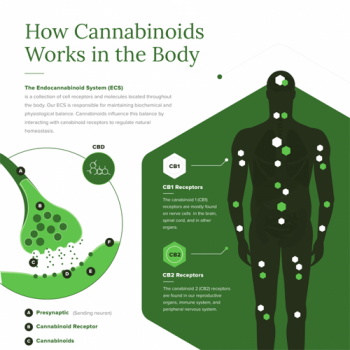 how-cannabinoids-works-in-the-body-fimg